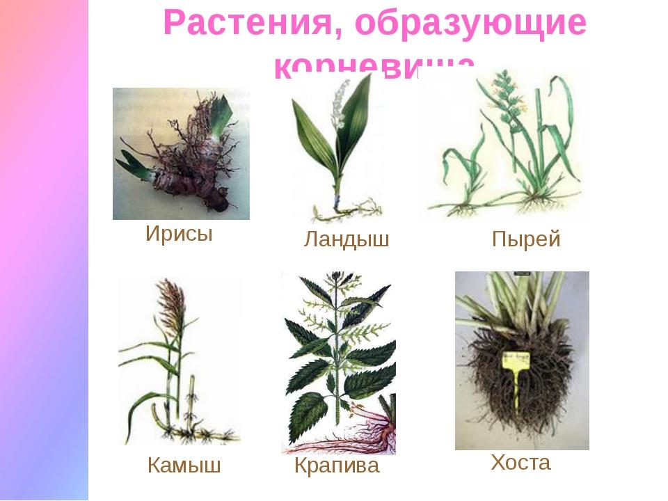 Растения, образующие корневища Ирисы Ландыш Пырей Камыш Крапива Хоста