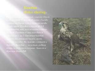 Балобан (Falco cherrug) Крупный сокол величиной с ворону. Очень редкая птица