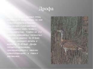 Одна из самых крупных птиц, крупнее гуся. Встречалась на юге Тульской области