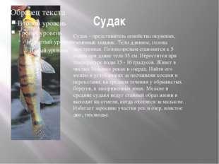Судак Судак - представитель семейства окуневых, типичный хищник. Тело длинное