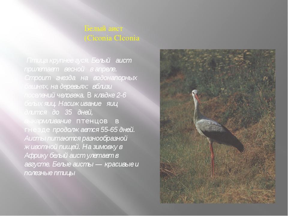 Белый аист (Ciconia CIconia Птица крупнее гуся. Белый аист прилетает весной в...