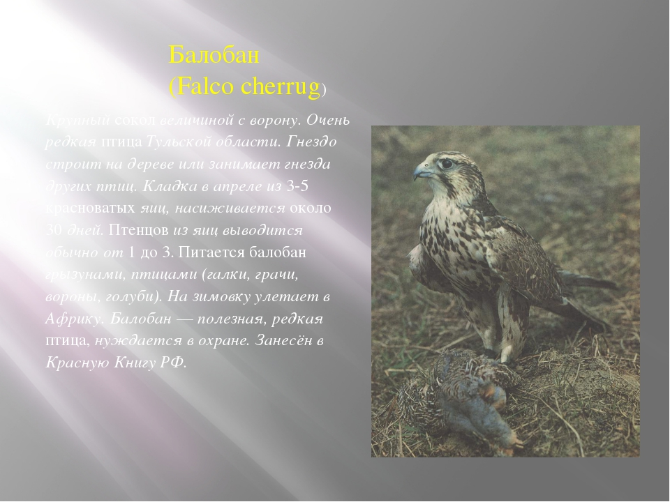 Балобан (Falco cherrug) Крупный сокол величиной с ворону. Очень редкая птица...