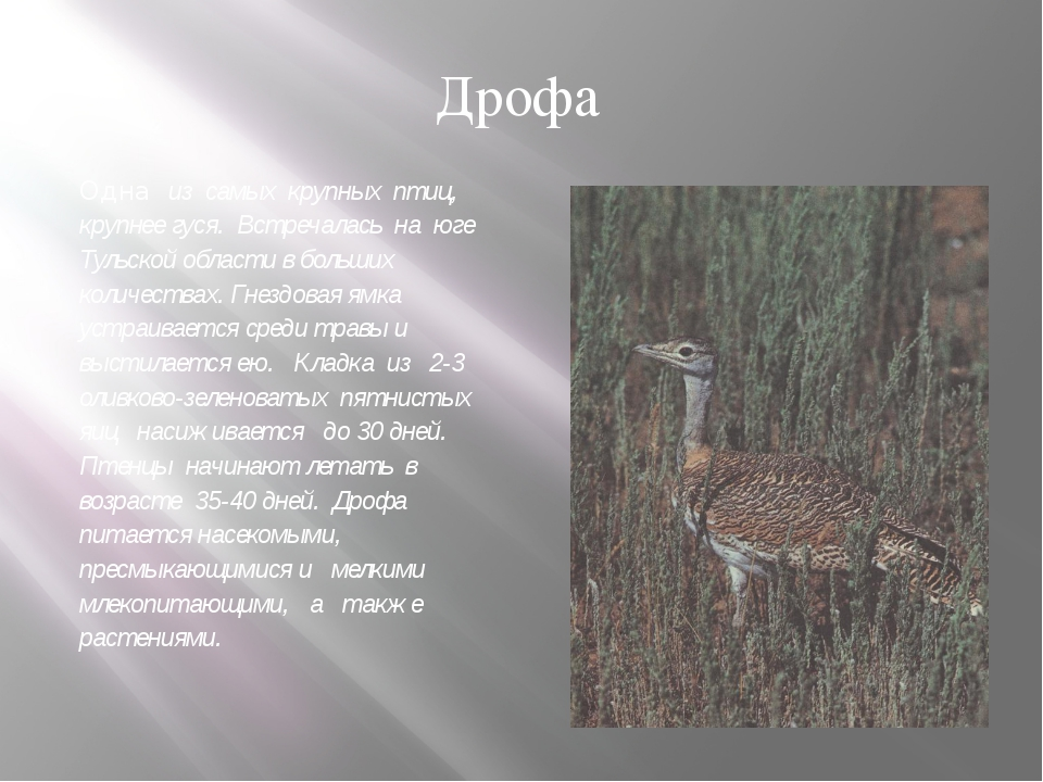 Одна из самых крупных птиц, крупнее гуся. Встречалась на юге Тульской области...