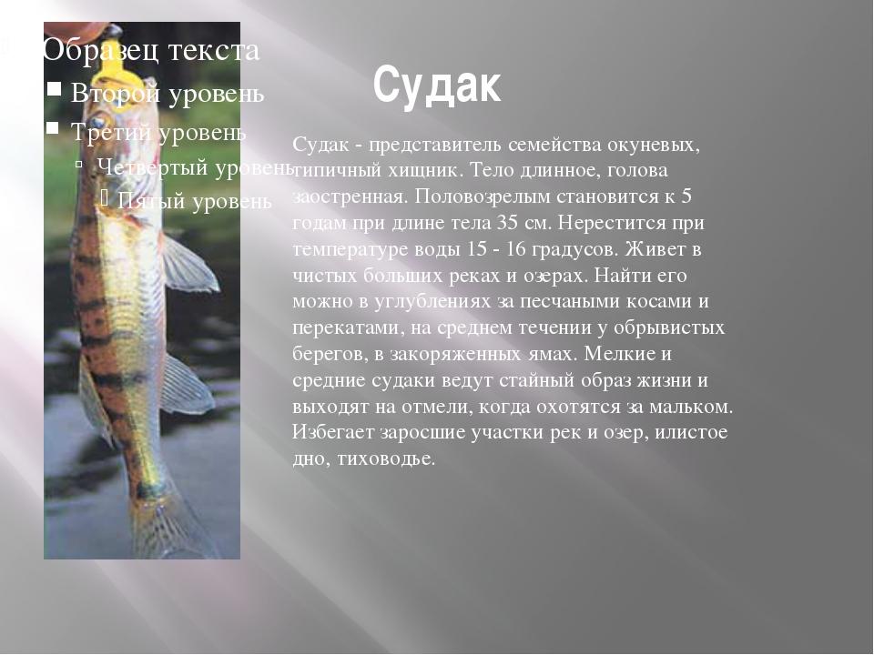 Судак Судак - представитель семейства окуневых, типичный хищник. Тело длинное...