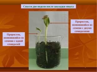 Спустя две недели после закладки опыта Проросток, появившийся из семени с дву