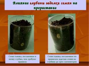 Влияние глубины заделки семян на прорастание Семя тыквы, посаженное по правил