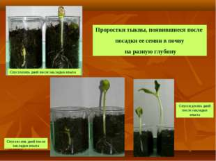 Проростки тыквы, появившиеся после посадки ее семян в почву на разную глубину
