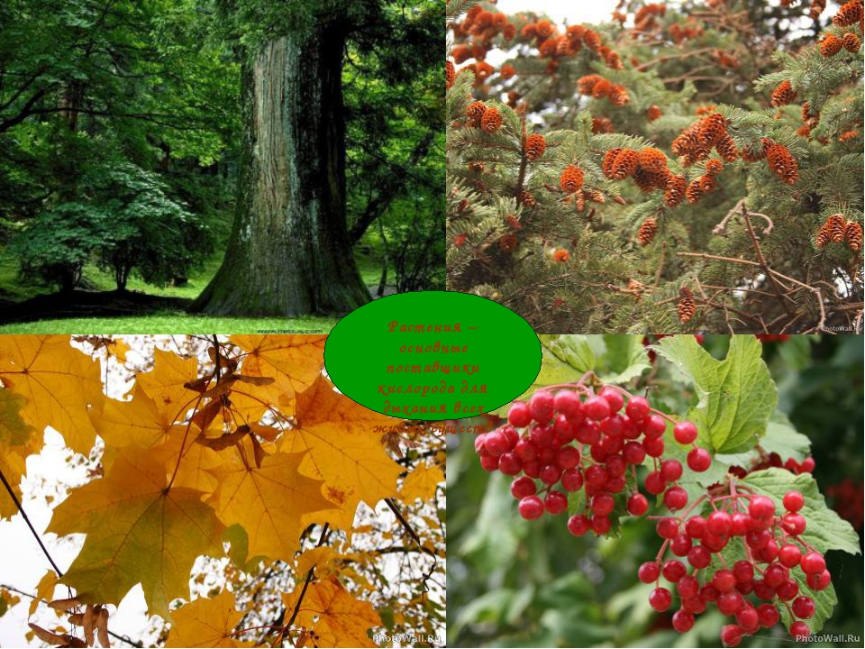 Растения – основные поставщики кислорода для дыхания всех живых существ