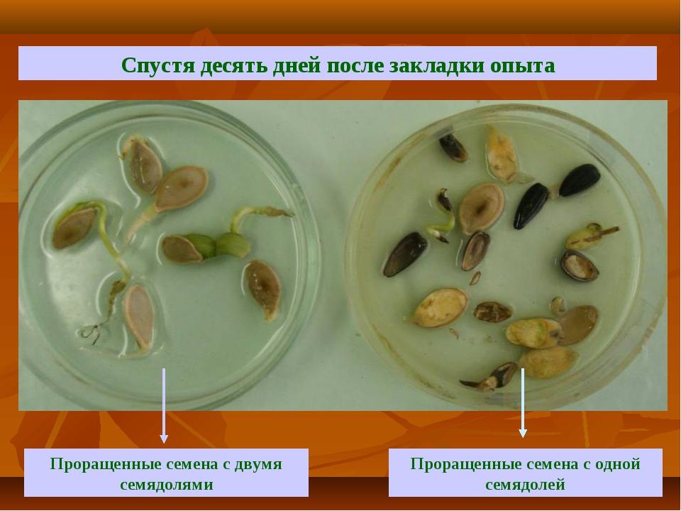 Спустя десять дней после закладки опыта Проращенные семена с двумя семядолями...