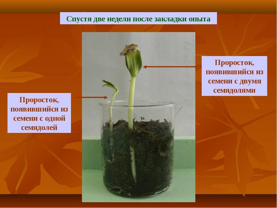 Спустя две недели после закладки опыта Проросток, появившийся из семени с дву...