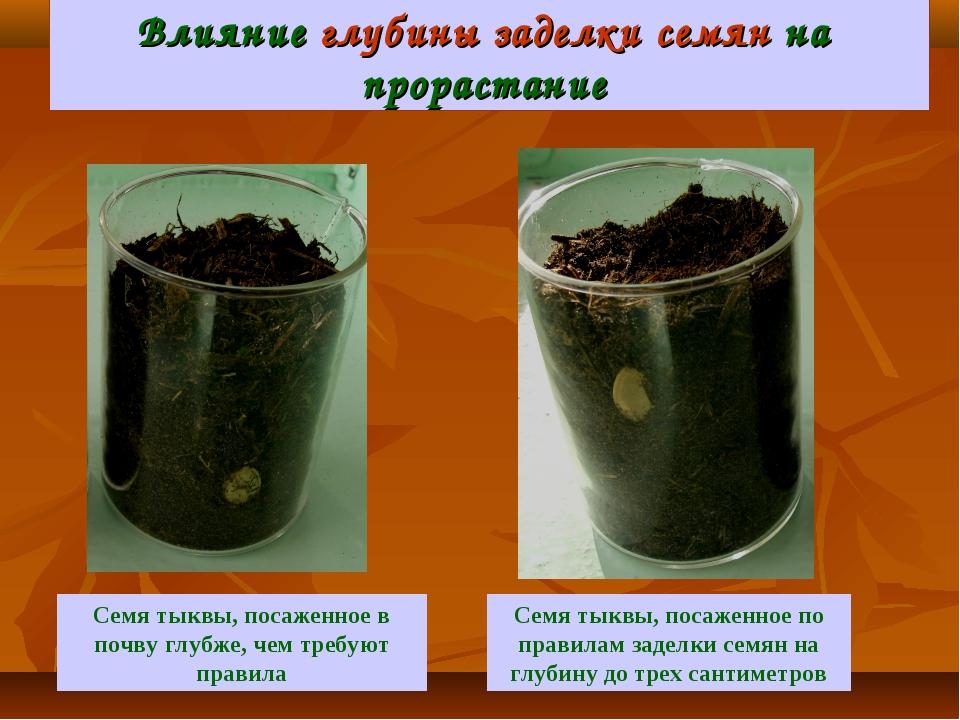 Влияние глубины заделки семян на прорастание Семя тыквы, посаженное по правил...