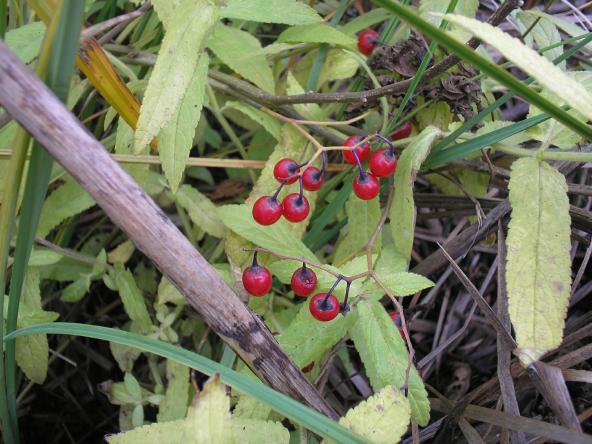 D:\Ядовитые растения грода Саратова\Фото\erfd.bmp