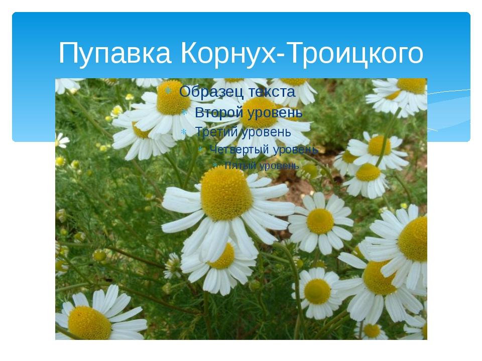 Пупавка Корнух-Троицкого