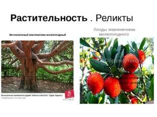 Растительность . Реликты Вечнозеленый земляничник мелкоплодный Плоды землянич
