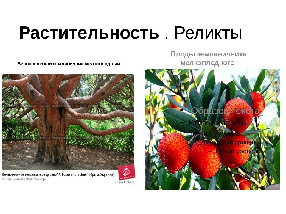 Растительность . Реликты Вечнозеленый земляничник мелкоплодный Плоды землянич...