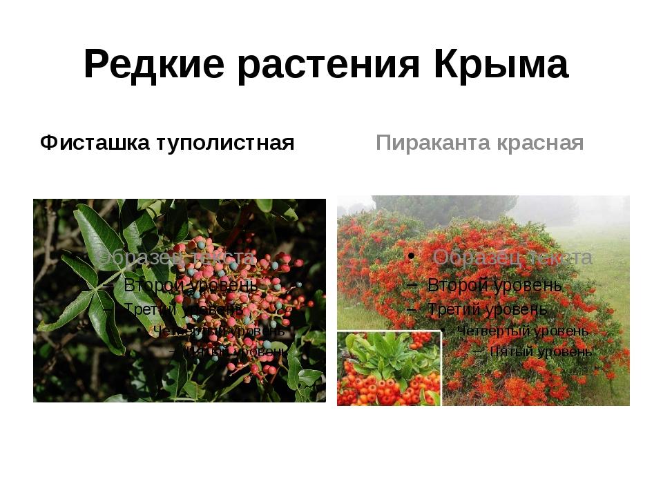 Редкие растения Крыма Фисташка туполистная Пираканта красная