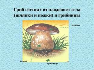 Гриб состоит из плодового тела (шляпки и ножки) и грибницы шляпка ножка грибн