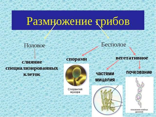 Размножение грибов Половое слияние специализированных клеток спорами вегетати...