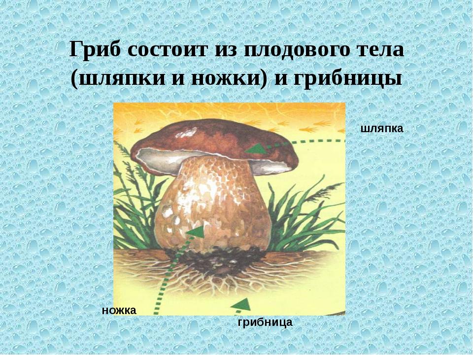 Гриб состоит из плодового тела (шляпки и ножки) и грибницы шляпка ножка грибн...