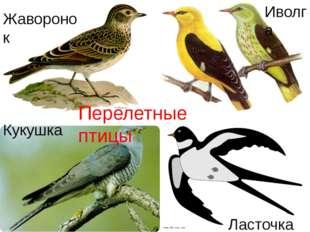Ласточка Жаворонок Иволга Кукушка Перелетные птицы