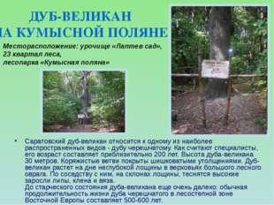 Саратовский дуб-великан относится к одному из наиболее распространенных видов