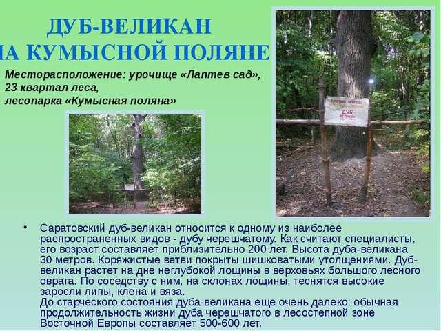 Саратовский дуб-великан относится к одному из наиболее распространенных видов...