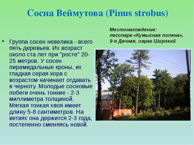 """Группа сосен невелика - всего пять деревьев. Их возраст около ста лет при """"ро..."""