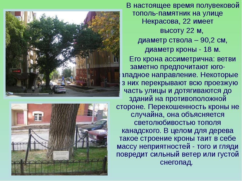 В настоящее время полувековой тополь-памятник на улице Некрасова, 22 имеет в...