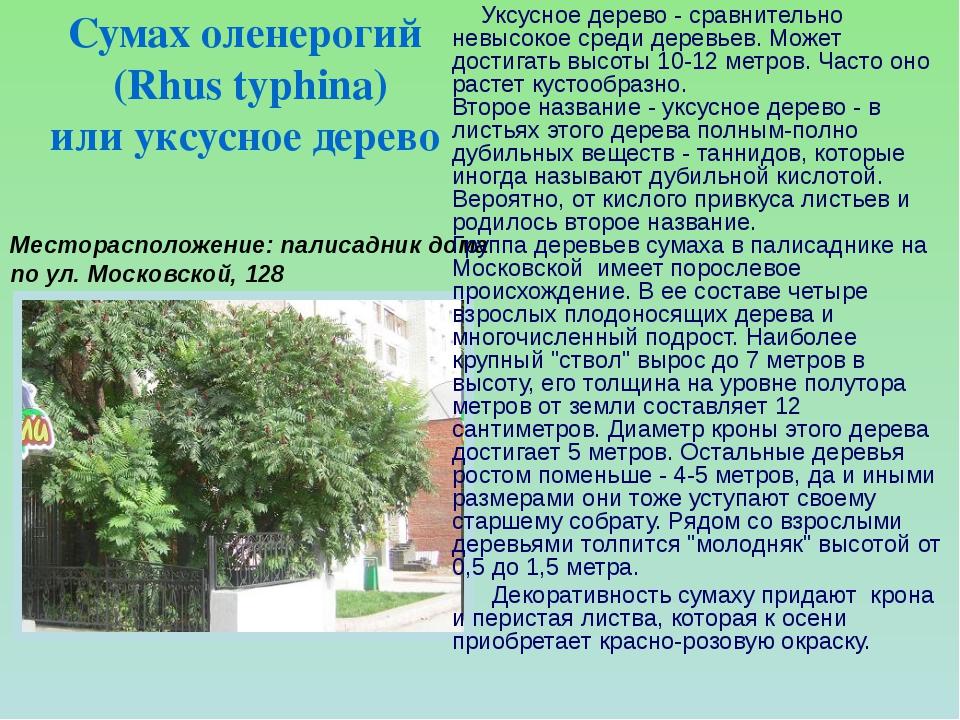 Месторасположение: палисадник дома по ул. Московской, 128  Уксусное дерево -...
