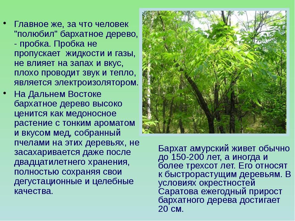 """Главное же, за что человек """"полюбил"""" бархатное дерево, - пробка. Пробка не пр..."""