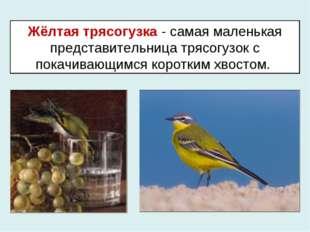 Жёлтая трясогузка - самая маленькая представительница трясогузок с покачивающ