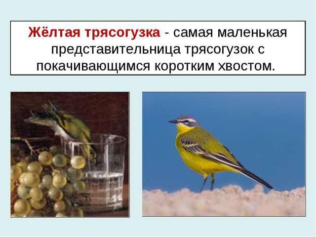 Жёлтая трясогузка - самая маленькая представительница трясогузок с покачивающ...
