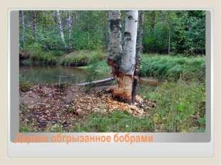 Дерево обгрызанное бобрами