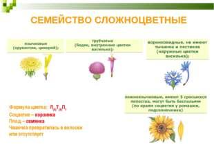 СЕМЕЙСТВО СЛОЖНОЦВЕТНЫЕ Формула цветка: Л(5)Т(5)П1 Соцветие– корзинка Плод–
