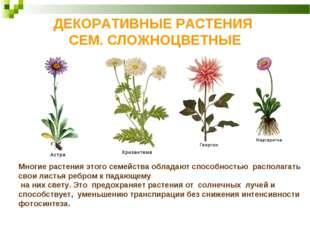 ДЕКОРАТИВНЫЕ РАСТЕНИЯ СЕМ. СЛОЖНОЦВЕТНЫЕ Многие растения этого семейства обла