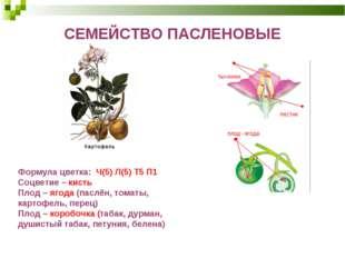 СЕМЕЙСТВО ПАСЛЕНОВЫЕ Формула цветка: Ч(5) Л(5) Т5 П1 Соцветие– кисть Плод–