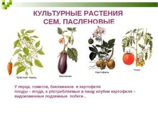 КУЛЬТУРНЫЕ РАСТЕНИЯ СЕМ. ПАСЛЕНОВЫЕ У перца, томатов, баклажанов и картофеля