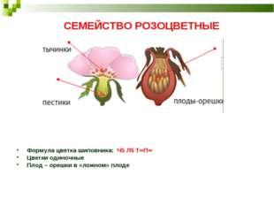 СЕМЕЙСТВО РОЗОЦВЕТНЫЕ Формула цветка шиповника: Ч5 Л5 Т∞П∞ Цветки одиночные П