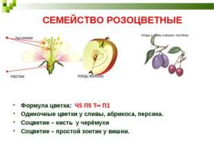 СЕМЕЙСТВО РОЗОЦВЕТНЫЕ Формула цветка: Ч5 Л5 Т∞ П1 Одиночные цветки у сливы, а