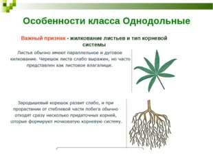 Особенности класса Однодольные Важный признак - жилкование листьев и тип корн