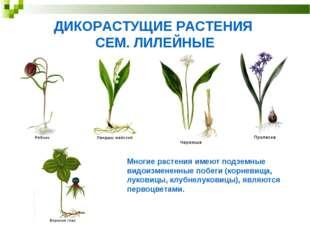 ДИКОРАСТУЩИЕ РАСТЕНИЯ СЕМ. ЛИЛЕЙНЫЕ Многие растения имеют подземные видоизмен