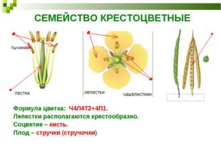 СЕМЕЙСТВО КРЕСТОЦВЕТНЫЕ Формула цветка: Ч4Л4Т2+4П1. Лепестки располагаются кр