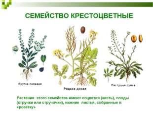 СЕМЕЙСТВО КРЕСТОЦВЕТНЫЕ Растения этого семейства имеют соцветия (кисть), плод