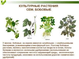 КУЛЬТУРНЫЕ РАСТЕНИЯ СЕМ. БОБОВЫЕ У многих бобовых на корнях имеются «клубеньк