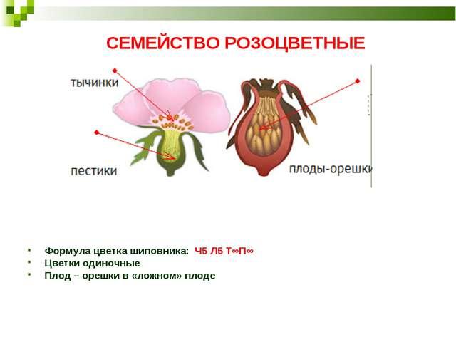 СЕМЕЙСТВО РОЗОЦВЕТНЫЕ Формула цветка шиповника: Ч5 Л5 Т∞П∞ Цветки одиночные П...