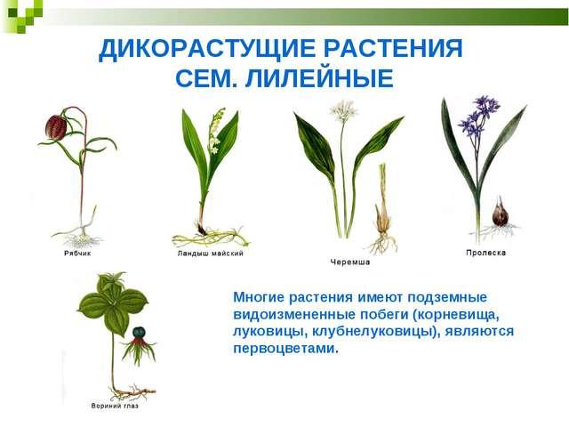 ДИКОРАСТУЩИЕ РАСТЕНИЯ СЕМ. ЛИЛЕЙНЫЕ Многие растения имеют подземные видоизмен...