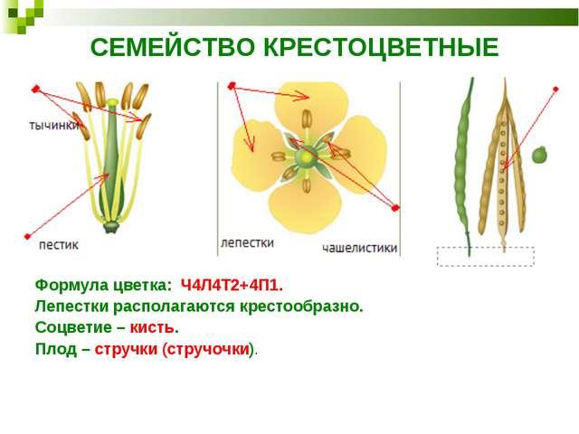 СЕМЕЙСТВО КРЕСТОЦВЕТНЫЕ Формула цветка: Ч4Л4Т2+4П1. Лепестки располагаются кр...