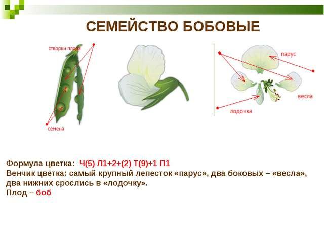 СЕМЕЙСТВО БОБОВЫЕ Формула цветка: Ч(5) Л1+2+(2) Т(9)+1 П1 Венчик цветка: самы...