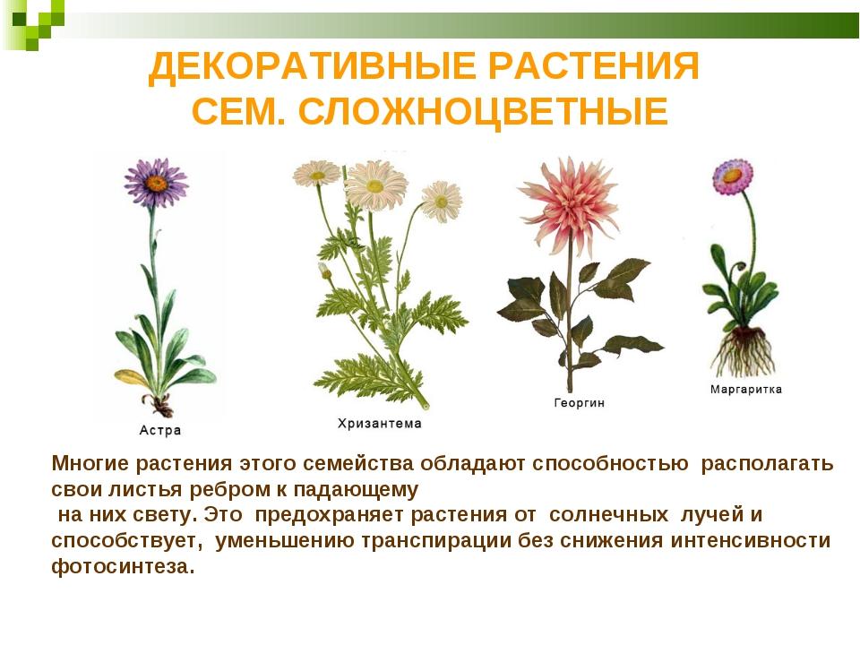 ДЕКОРАТИВНЫЕ РАСТЕНИЯ СЕМ. СЛОЖНОЦВЕТНЫЕ Многие растения этого семейства обла...