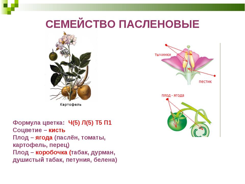 СЕМЕЙСТВО ПАСЛЕНОВЫЕ Формула цветка: Ч(5) Л(5) Т5 П1 Соцветие– кисть Плод–...